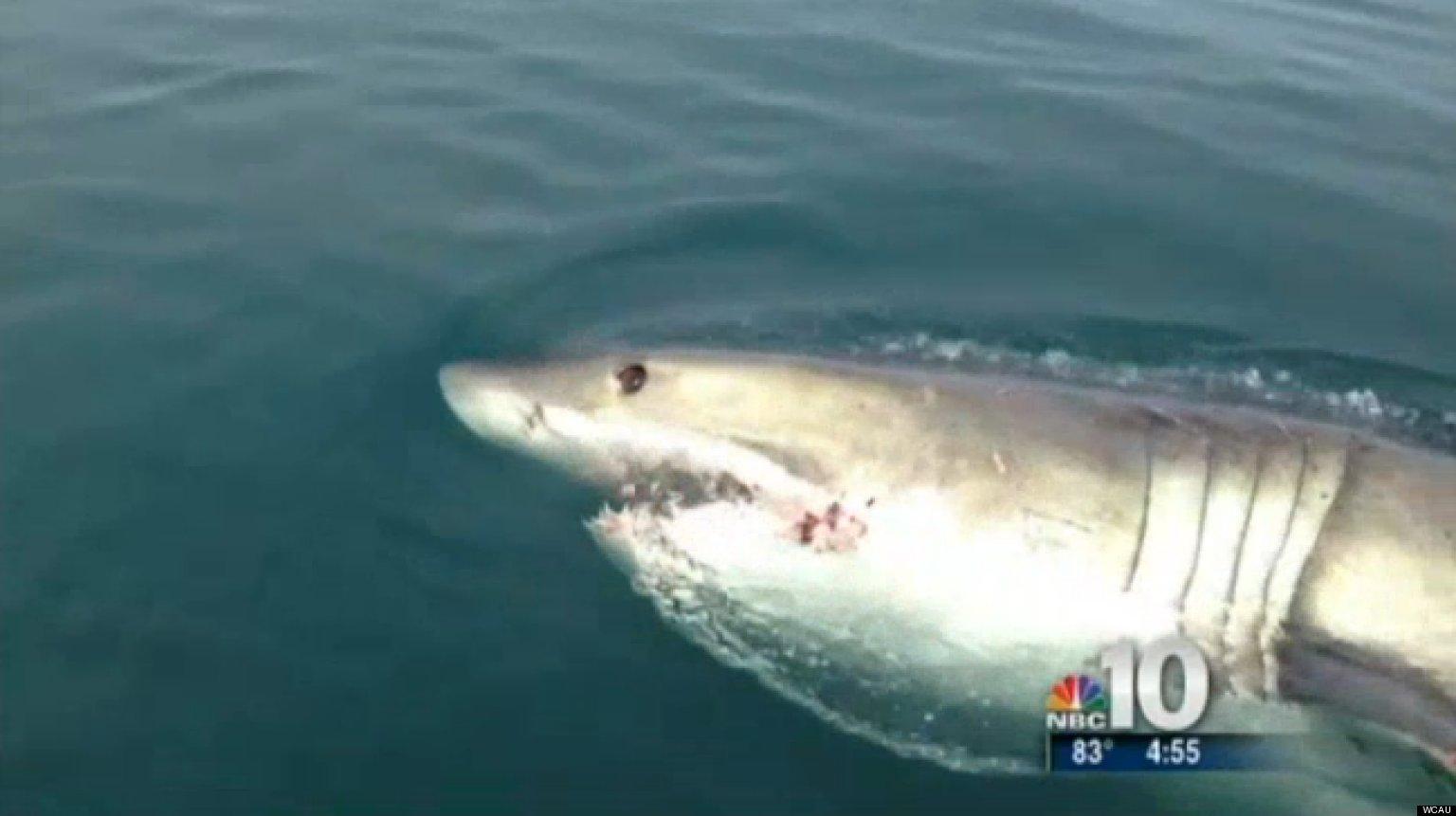 Great white shark seen off new jersey coast video huffpost for Shark fishing nj