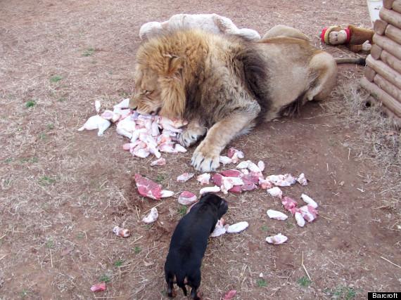 lion milo bonedigger