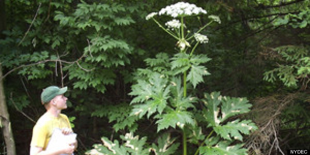 Giant Hogweed Plant May Cause Blindness Severe Skin Irritation
