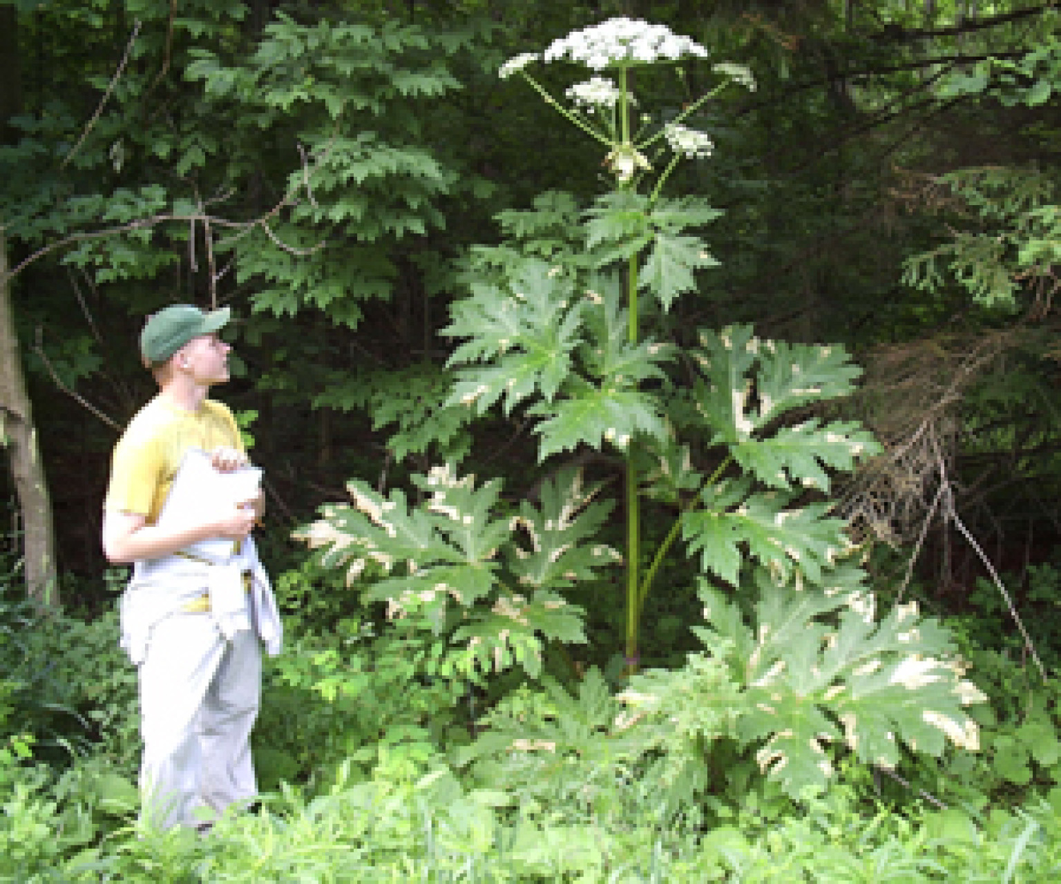 Umbrella Plant Toxic: Giant Hogweed Plant May Cause Blindness, Severe Skin