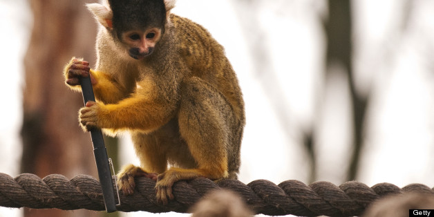 A spider monkey holds onto a pen after stealing it from a zookeeper during the annual stocktake at London Zoo, north London, on January 4, 2011. With over 16,000 creatures, the headcount will include 10,000 invertebrates, 4,700 fish and 100 reptiles. AFP PHOTO / LEON NEAL (Photo credit should read LEON NEAL/AFP/Getty Images)