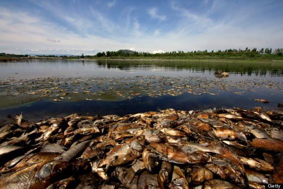 dead fish pile up