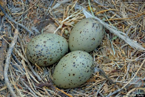 gulls egg