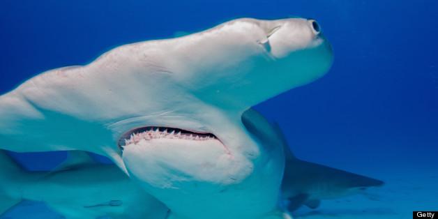 Florida's Hammerhead Sharks Suffer Severe Population Decline