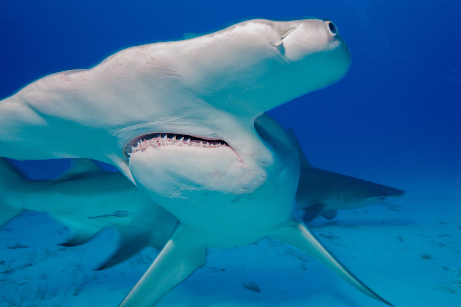 the great hammerhead shark The great hammerhead shark, also known as sphyrna mokarran, is a pelagic shark and is found world wide inshow more content strategy is not easily defined and furthermore the term is not exclusively related to just the business world.