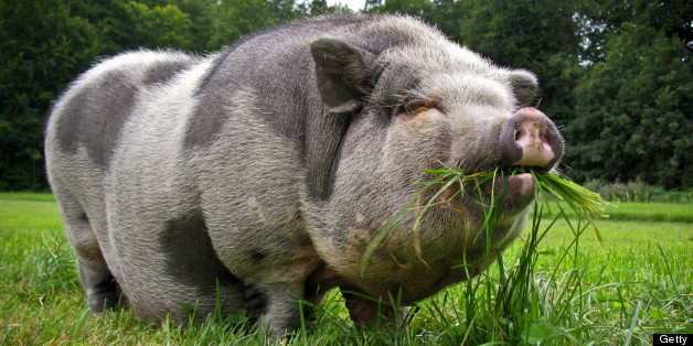 A pot-bellied pig was found in the car wearing jogging bottoms (file picture)