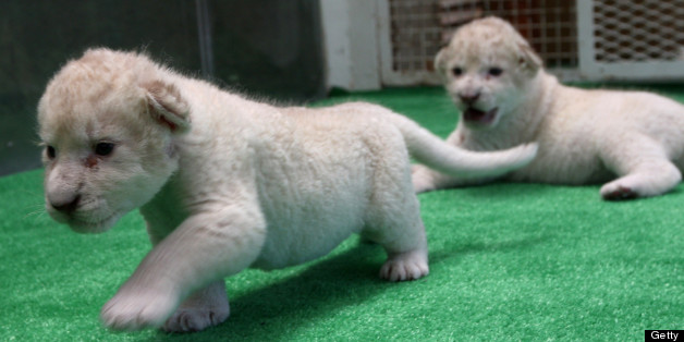 HIMEJI, JAPAN - JULY 09:  A one month old lioness play at Himeji Central Park on July 9, 2013 in Himeji, Japan. Seven white lioness cubs birth by three female South African loins June 6th, 26th and 30th, those seven white lion start to shown to the public end of this week.  (Photo by Buddhika Weerasinghe/Getty Images)