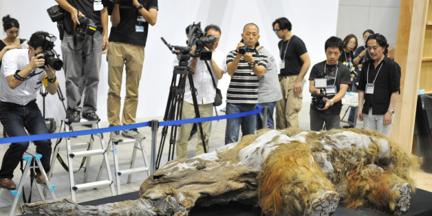 A 39,000-year-old female baby woolly mammoth named Yuka from the Siberian permafrost is unveiled for the media at an exhibition in Yokohama, suburban Tokyo on July 9, 2013. The frozen woolly mammoth will be exhibited from July 13 until September 16.    AFP PHOTO / KAZUHIRO NOGI        (Photo credit should read KAZUHIRO NOGI/AFP/Getty Images)