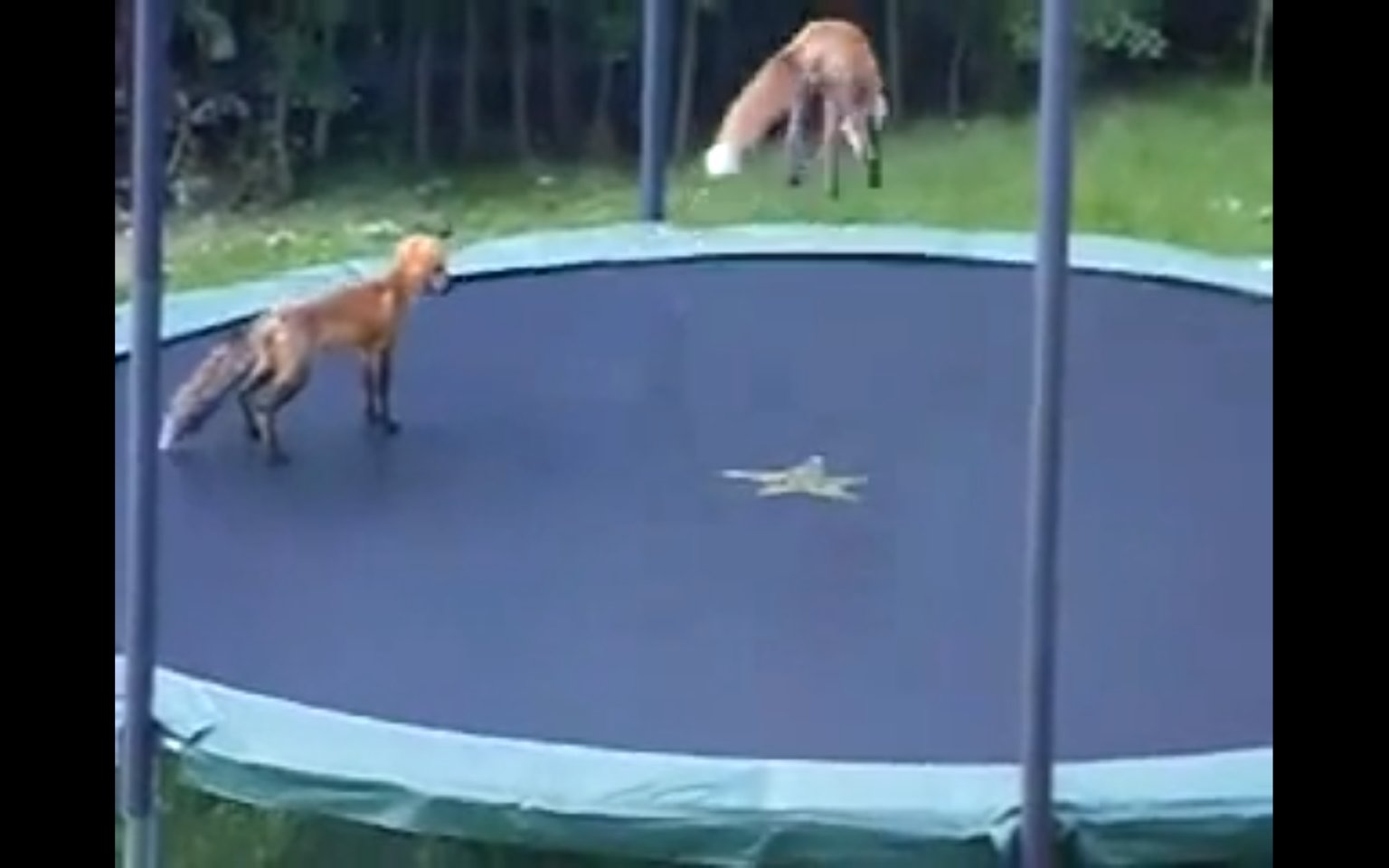 Foxes Jumping On A Trampoline Are Adorable Video Huffpost