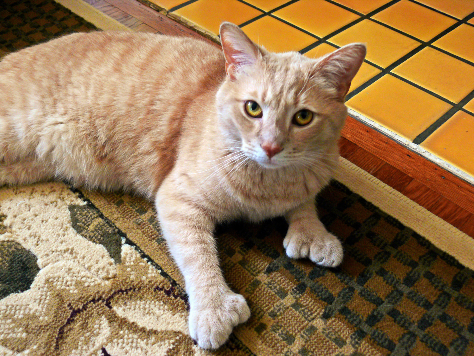 Pictures Of Seven Toed Cats