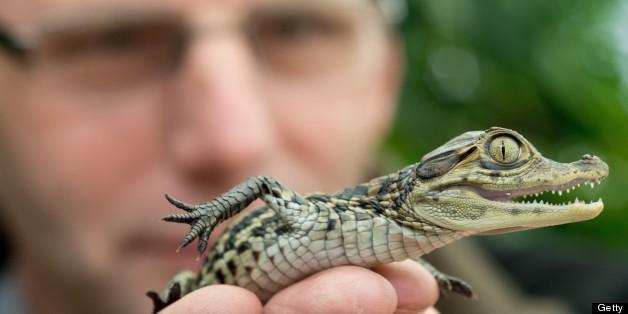 australia gives prince george baby crocodile huffpost