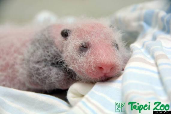 baby panda taipei zoo