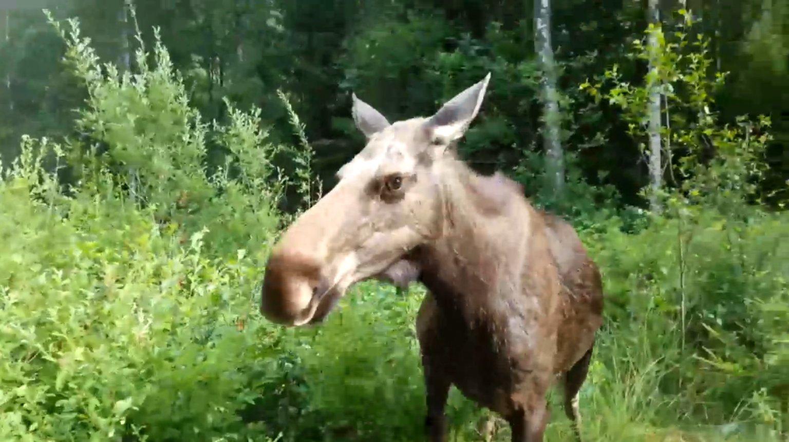 moose attacks