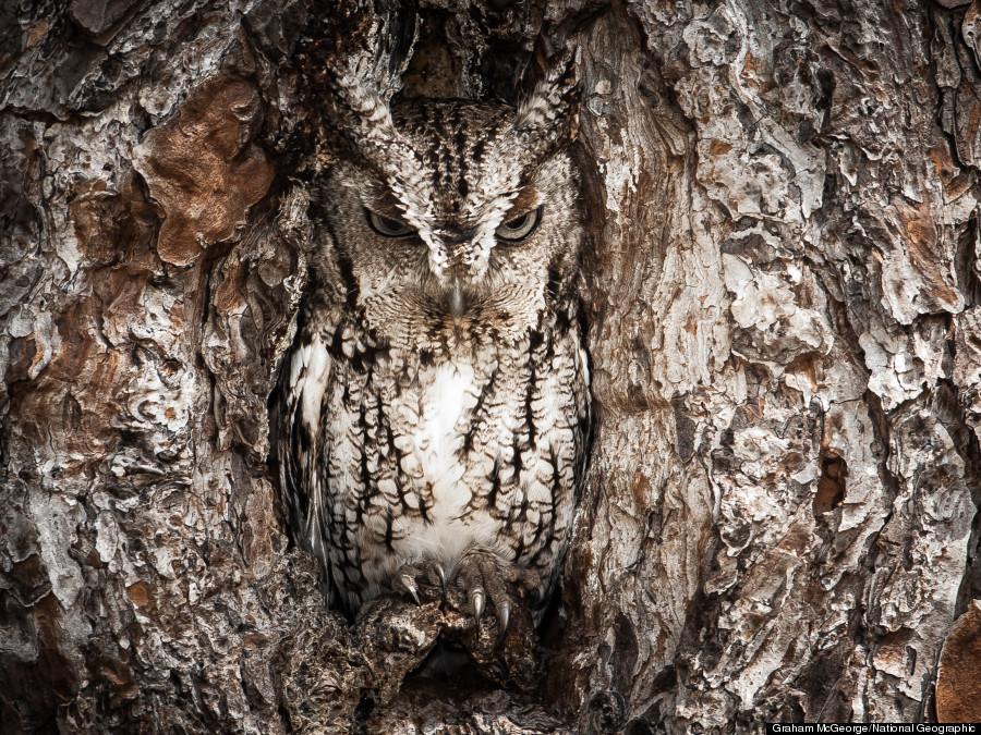 portrait of an eastern screech owl