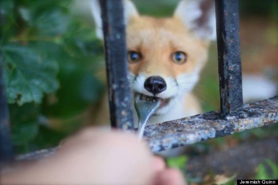 fox fork