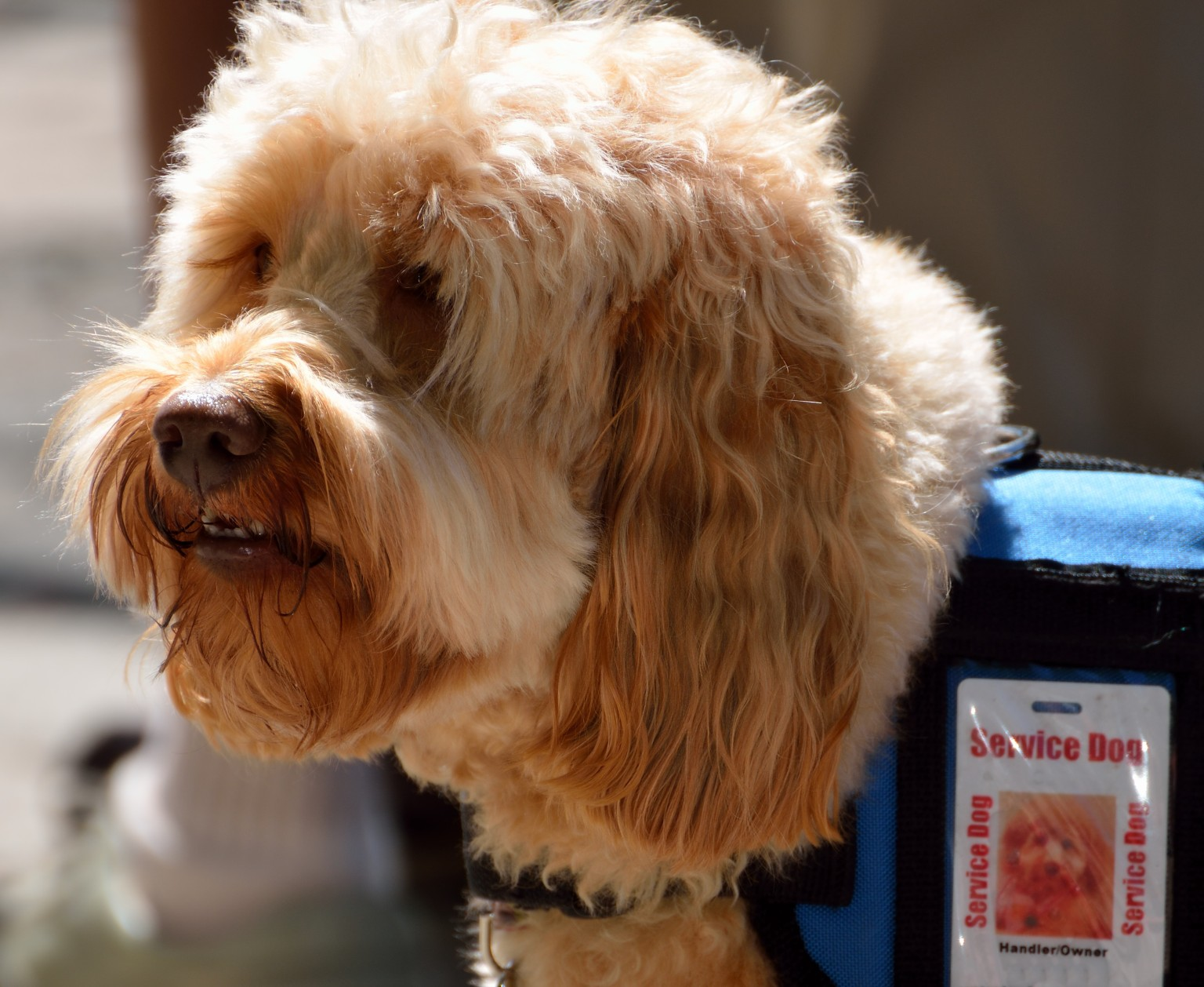 Fake Service Dog Certificates Being Used So Owners Can Take Pets To