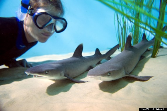 caesarean sharks