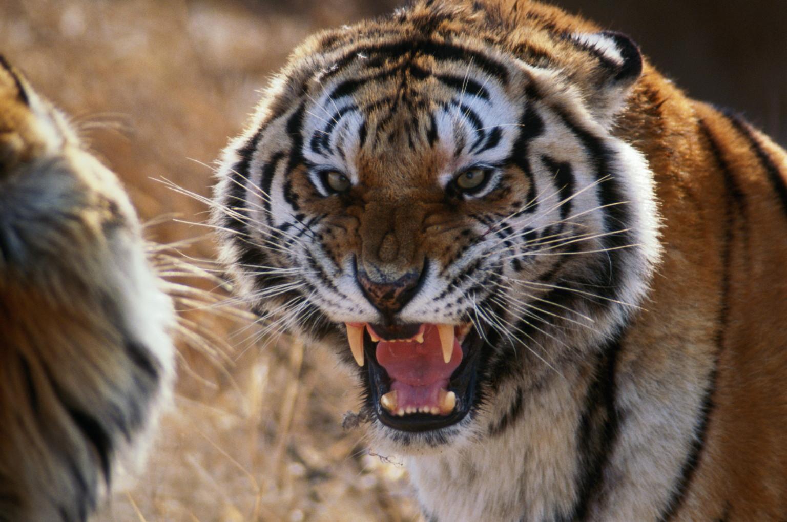 Tiger Training In Malibu Residential Area Raises Concerns