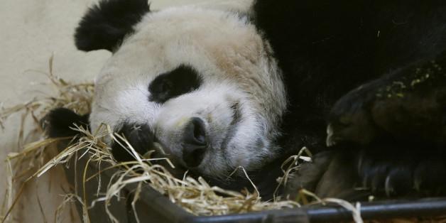 Tian Tian at Edinburgh Zoo in Scotland