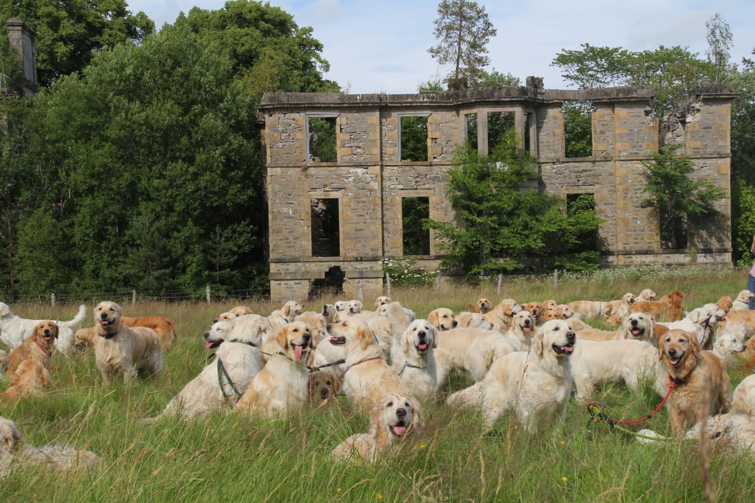 Golden Retriever Festival In Scotland Looks Like The