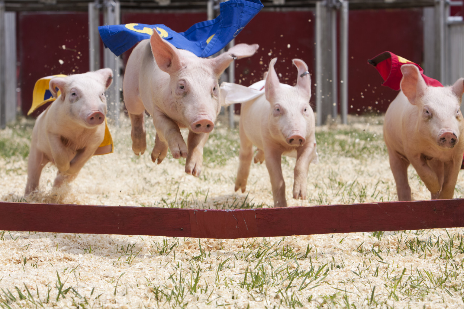 Pig Racing Photos Will Make You Run To Your Nearest County