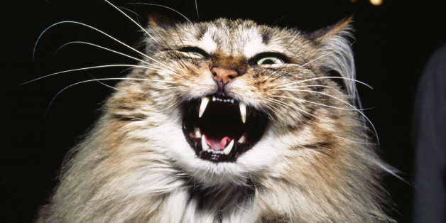Cats Protection Cat Hissing