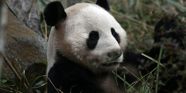 Yang Guang the male Panda at Edinburgh Zoo
