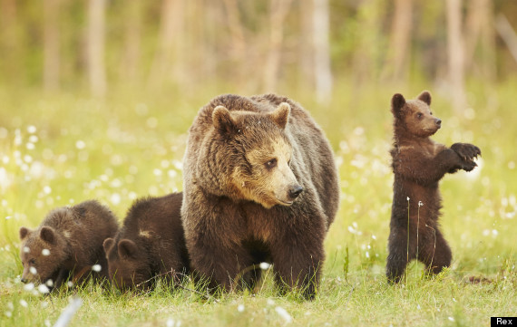 picture of the day baby bear does gangnam style huffpost uk