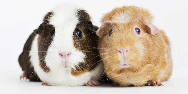 Guinea Pig Sex 'Too Loud'? German University's Research Animals Evicted After Neighbor Complains