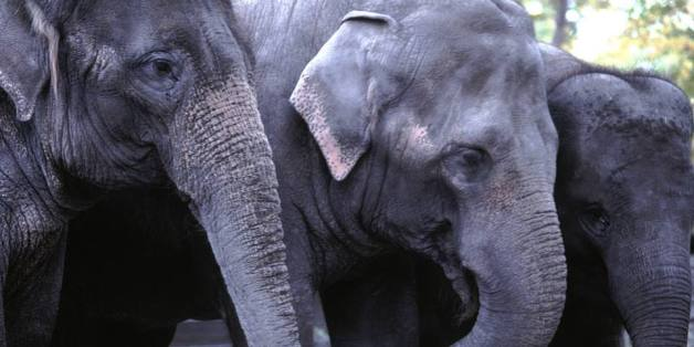 Calgary Zoo's female elephants are moving to Washington, D.C. next spring.