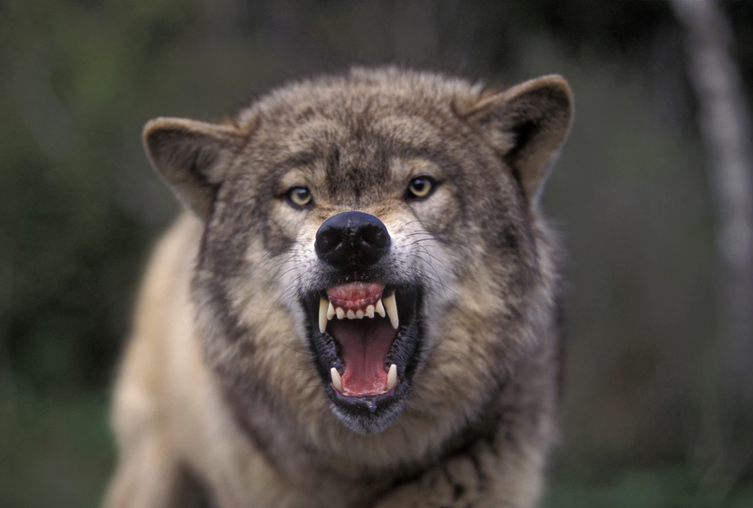wolf growling side angry snarling head wolves animal grey animals howl down touch kid eyes imgkid huffpost does