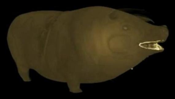 cochon titanic