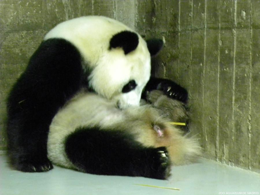 panda madrid