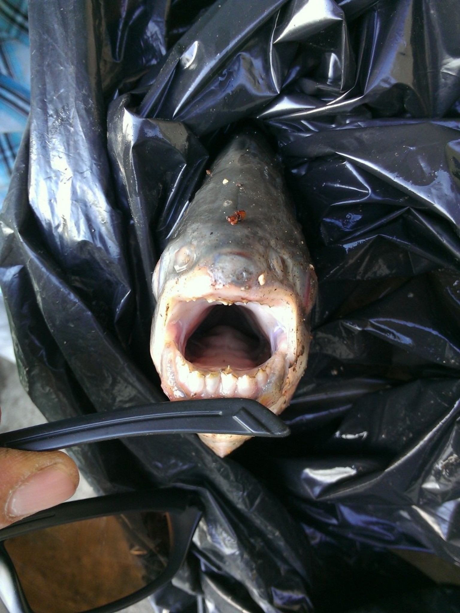 Pacu testicle biting fish caught near paris in the seine for Where are the fish biting near me