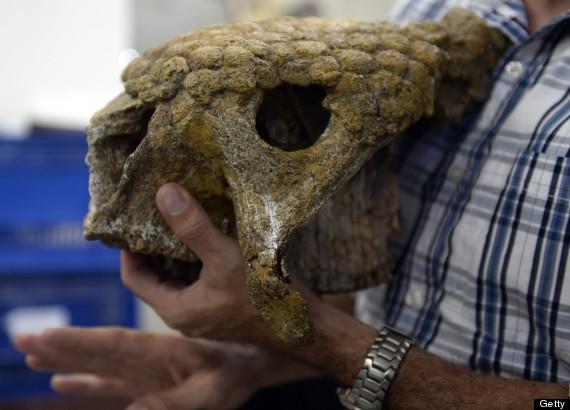 skull glyptodont venezuela