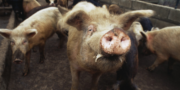 Squealing Pigs Render Farm Worker Deaf, France Orders Piggery To Pay ...