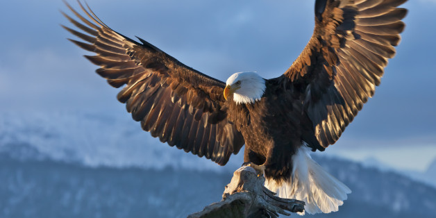 bald eagle conservation is an amazing success story as birds thrive
