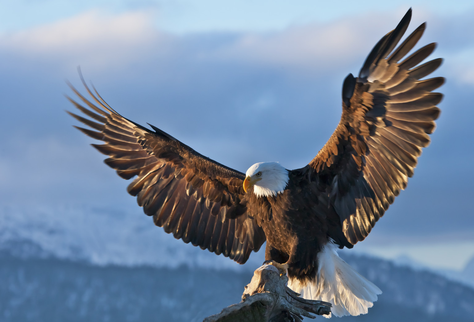 Bald Eagle Conservation Is An Amazing Success Story As Birds