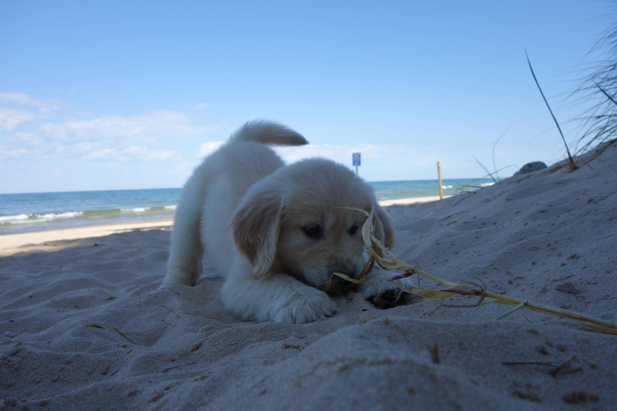 Puppy's First Visit To The Beach Will Make All Other Dog ...