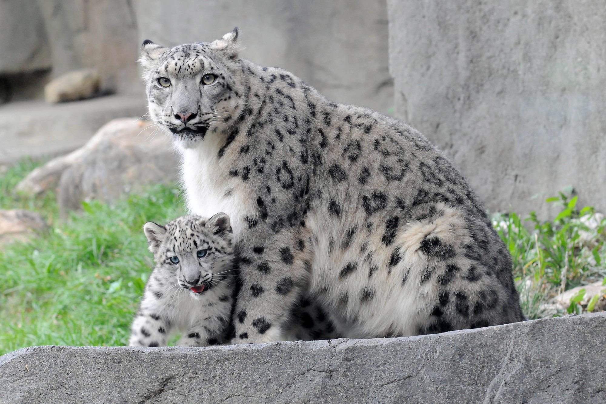 Snow Leopard Cub Cant Stop Jumping On Things During Public Debut At Brookfield Zoo VIDEO PHOTOS