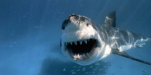 Why Do Sharks Circle Their Prey Before They Attack?