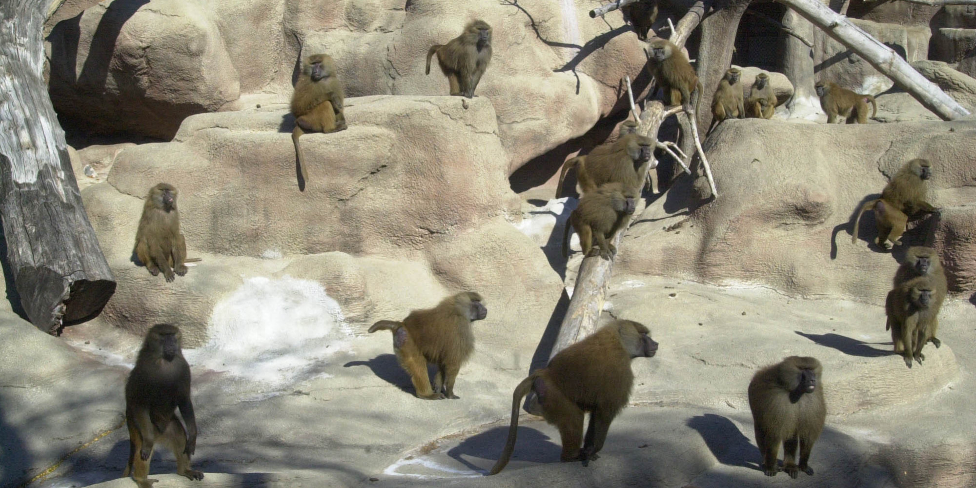 Brookfield Zoos Baboon Island Closed After Over Seven Decades