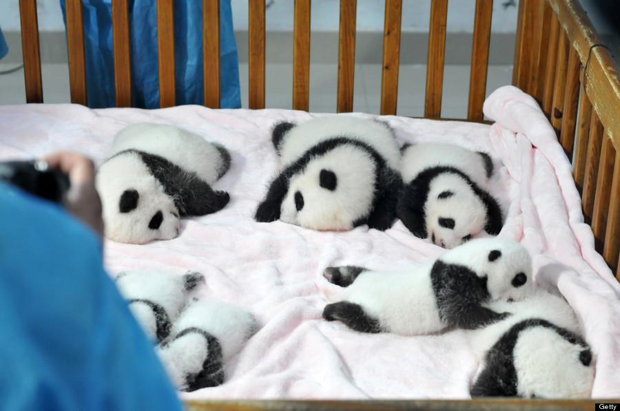 baby panda china