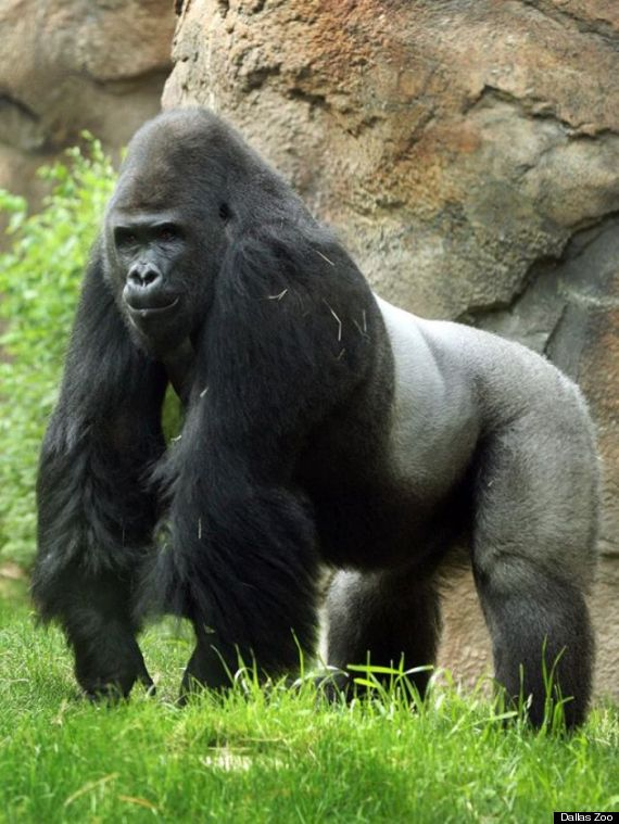 patrick the gorilla