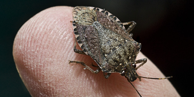 Stink Bugs On The Rise In The U S Huffpost