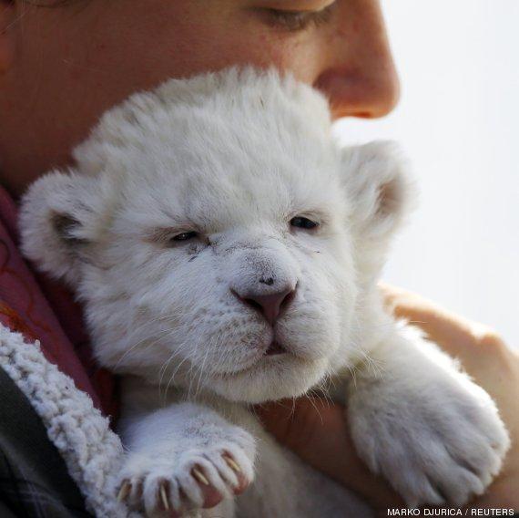 blanco leon