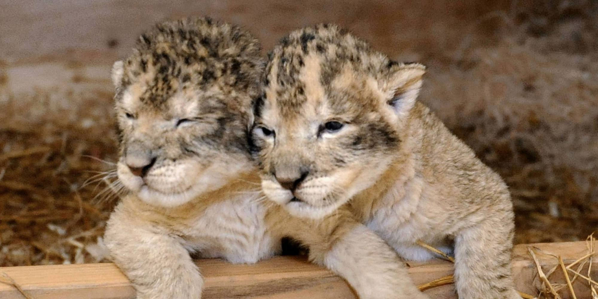 Lion Cubs Birth At Maryland Zoo Is Bittersweet  HuffPost