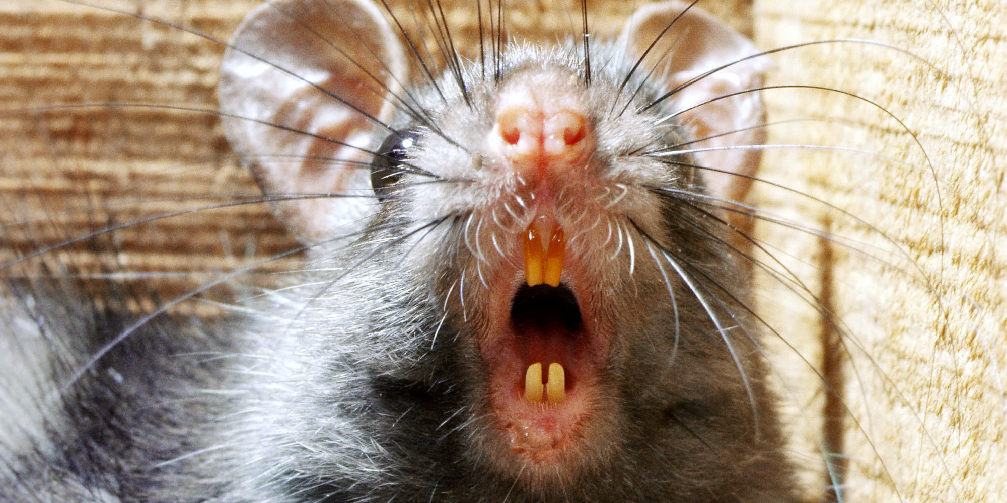 rats so big the cats are scared u0027 worry englewood neighbors huffpost