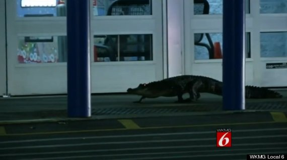 alligator at walmart