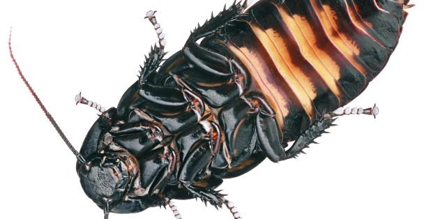 Cyborg-Kakerlaken: Insekten als Katastrophenhelfer